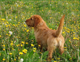 Billy in the dandelions   /   image subject to  © copyright